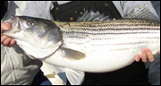 Chesapeake Bay Flf Fishing Trips